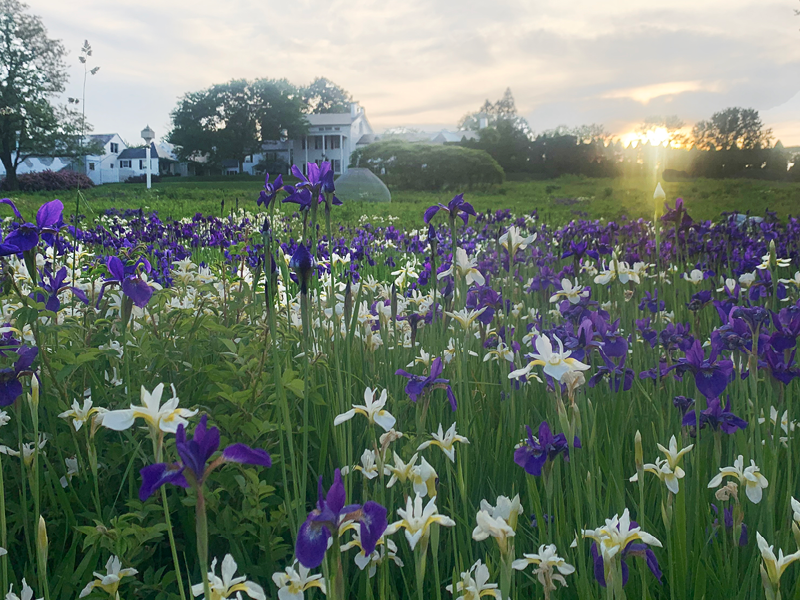 Irises in The Meadow